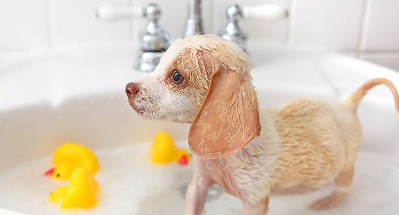 shampun shneri hamar